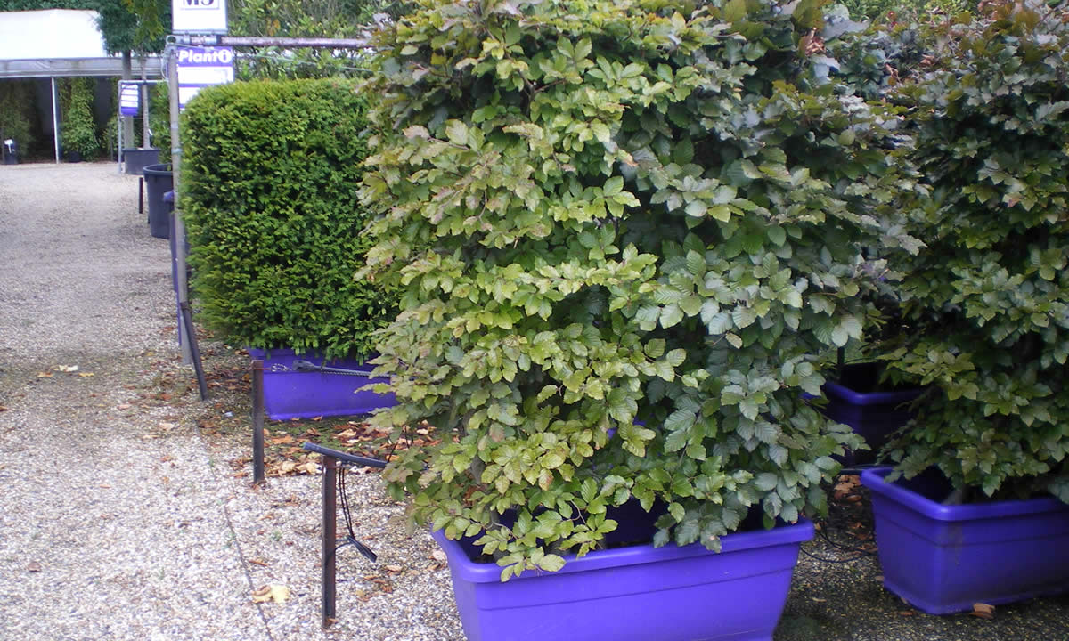 screening & hedging plants image